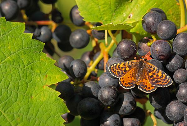 Schmetterlinge auf Weintrauben sind ein Zeichen für Biodiversität im Weinberg