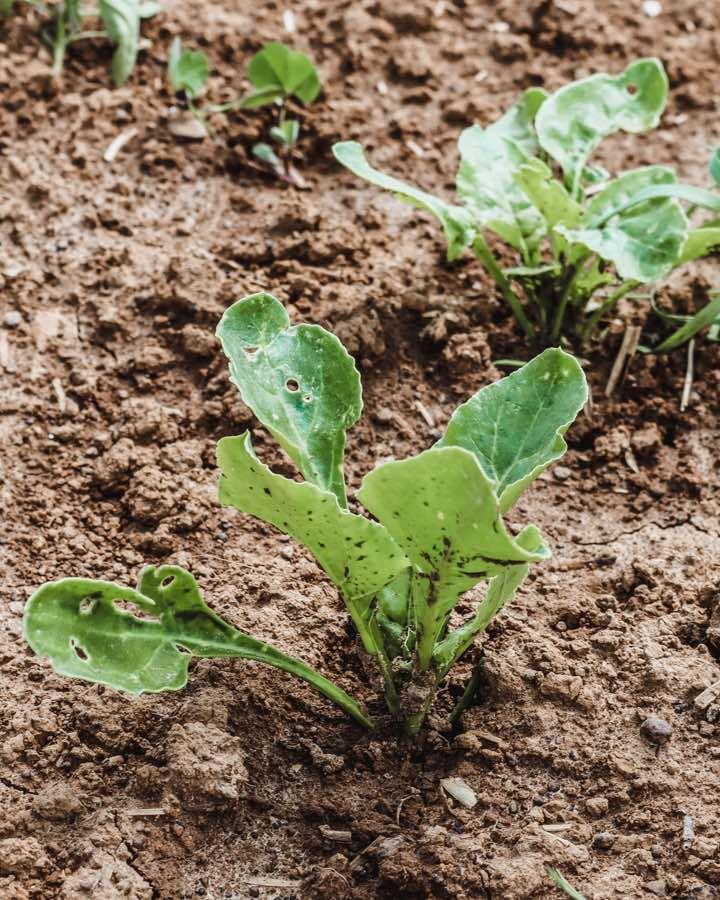 Biodiversität: Bio Zuckerrüben Pflanzen in der Fruchtfolge