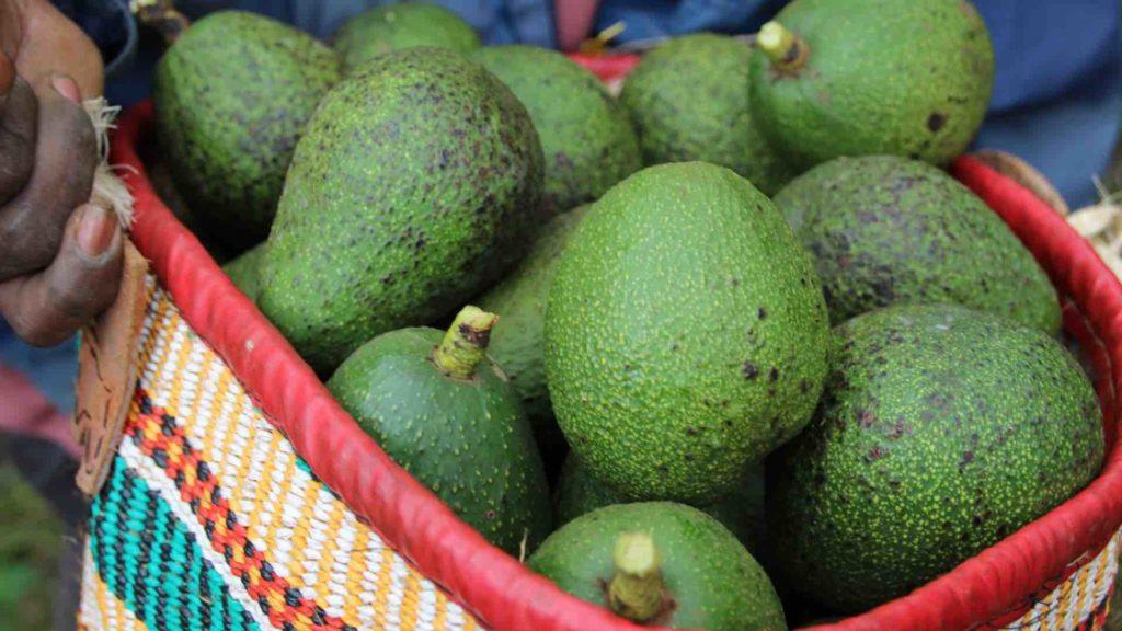 Ein Korb voller Avocados zur Herstellung von Avocado Öl