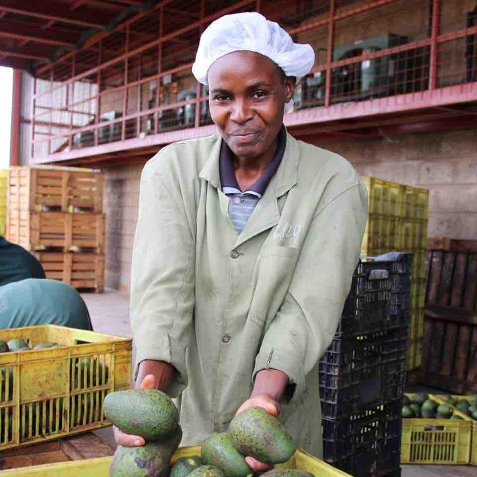 Menshc mit frischen Avocados in der Hand – Avocado Ernte in Kenia