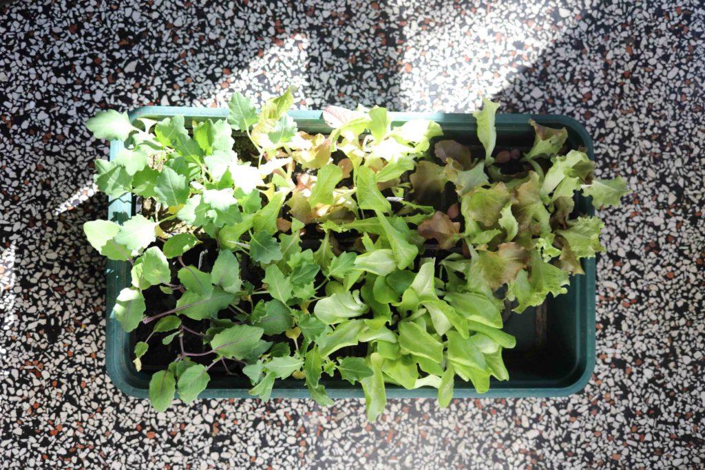 Kopfsalat und Kohlrabi anbauen: Lieber Jungpflanzen als eigene Vorzucht