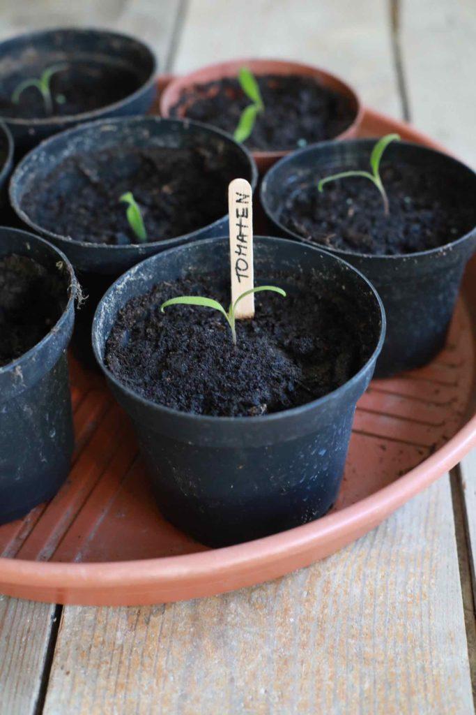 Gemüse selber anbauen: Tomaten erst auf der Fensterbank vorziehen